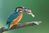 Kingfisher; Коментари:6