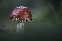 Червена мухоморка (amanita muscaria); comments:12