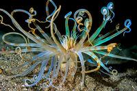 Морска анемония; comments:13