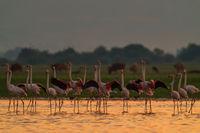Розови Фламинги по изгрев...; comments:8