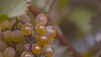 бяло грозде; comments:1