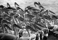 Орда пеликани..; comments:11