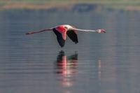 Бръснещ полет... розово фламинго..; comments:11