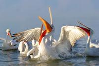Пеликанска рапсодия; comments:8