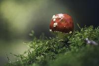 Червена мухоморка (amanita muscaria); comments:4