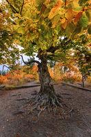 Есенно дърво; comments:3