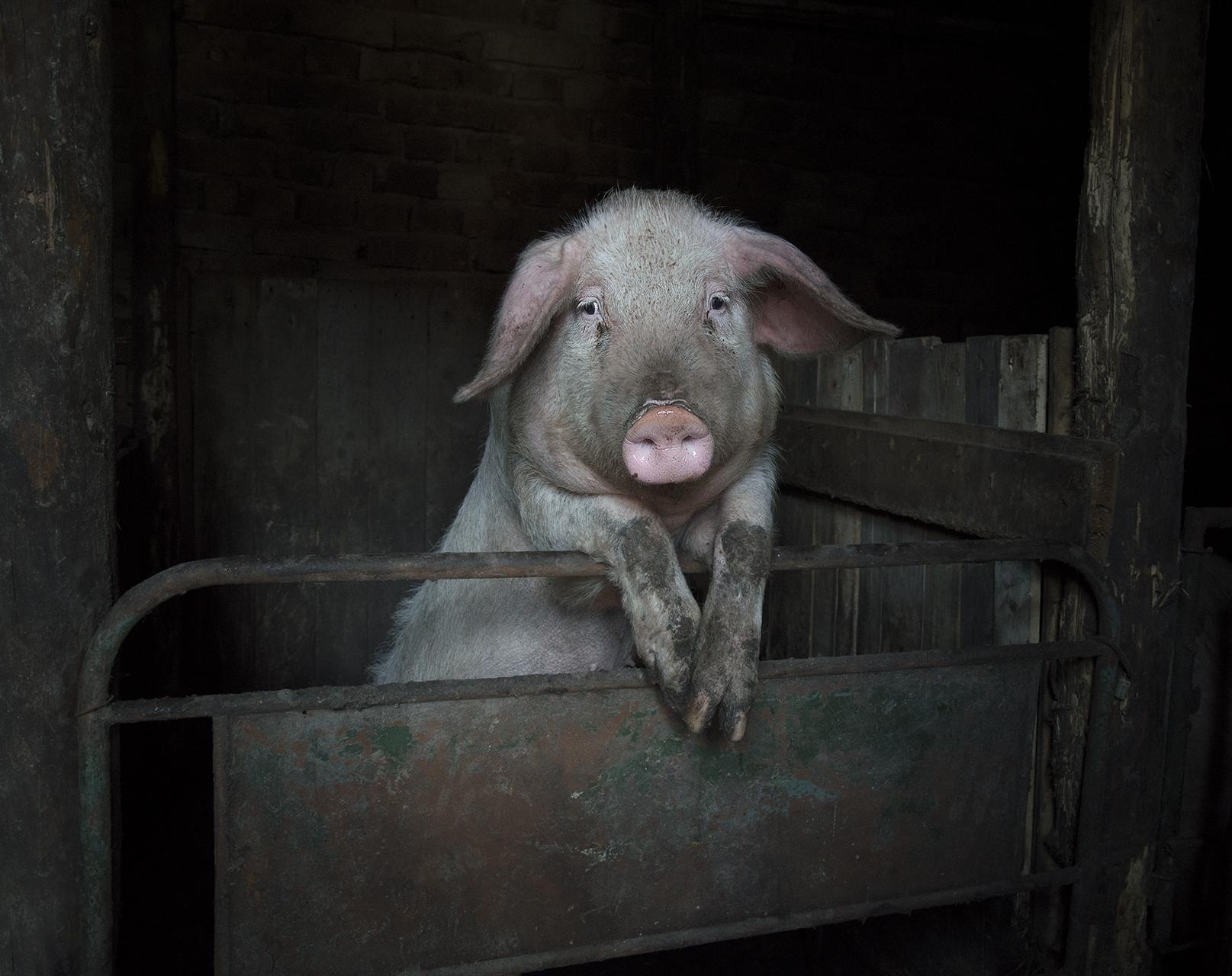 Miss Piggy от Петър Белев - nislon