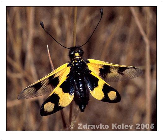 Аскалаф (Libelloides macaronius) | Author Zedrules | PHOTO FORUM