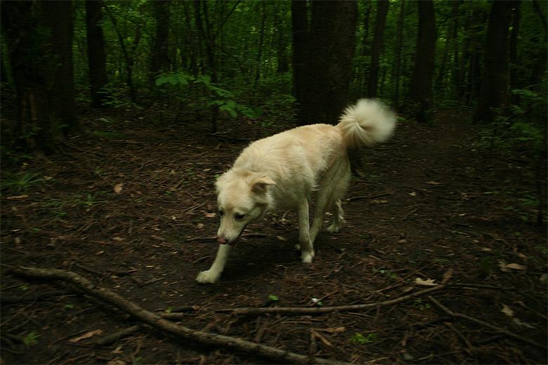 Бял вълк