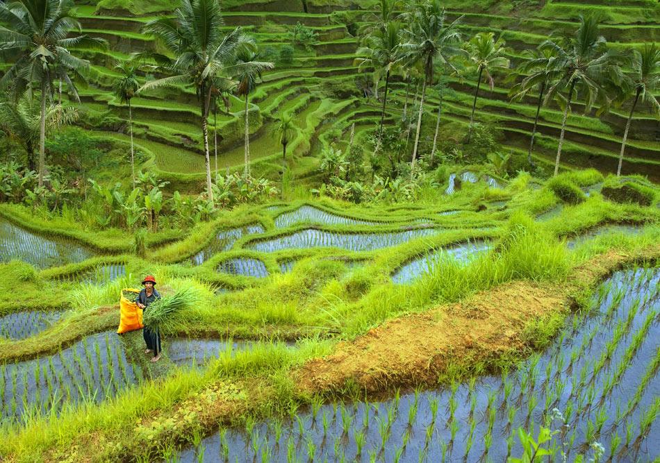 ... класически етюд от оризовите тераси....