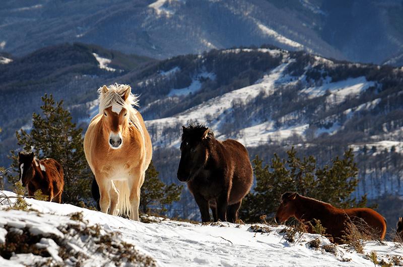 Осоговски коне | Author MVC  - BOZO | PHOTO FORUM