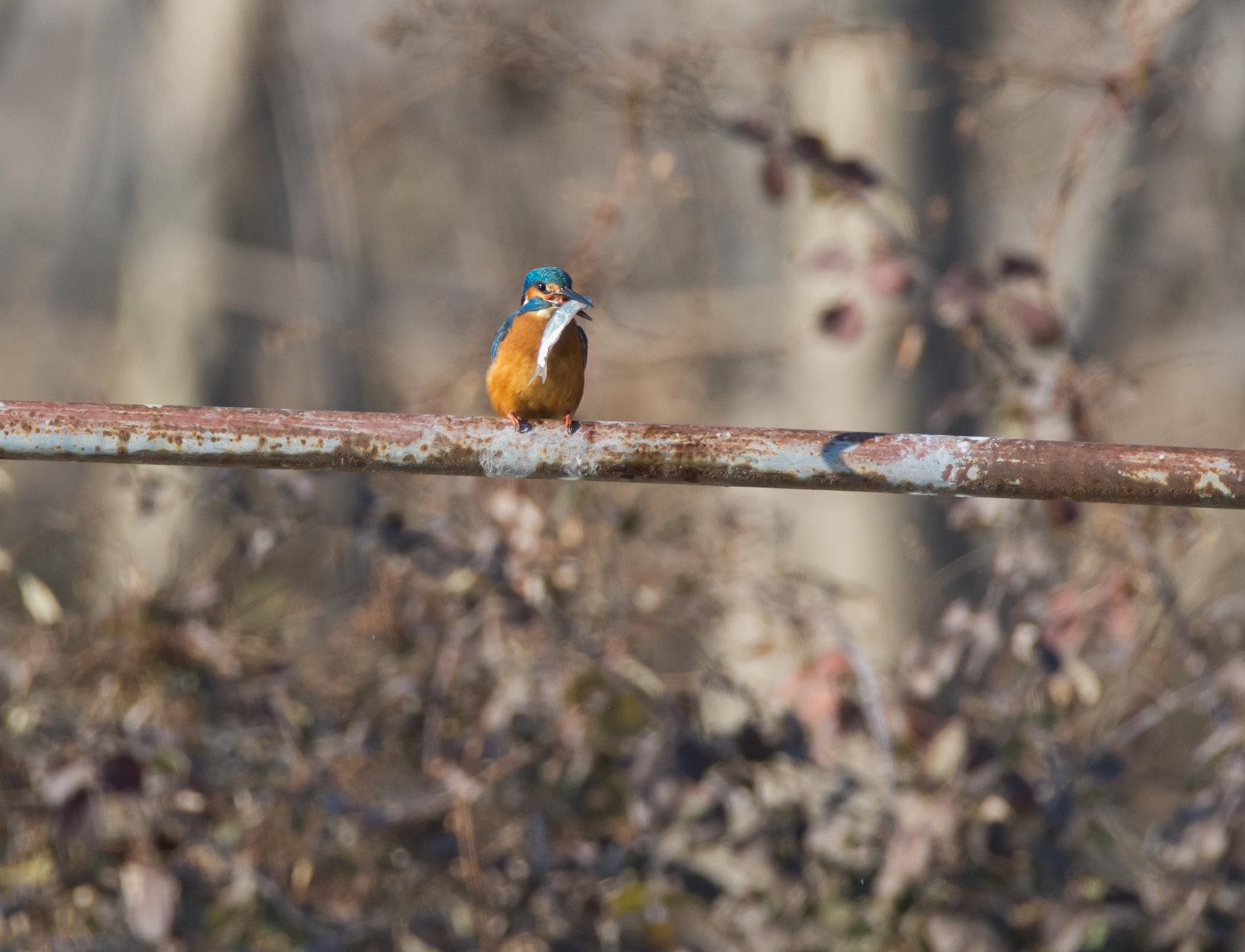 Земеродно рибарче /Kingfisher/, ез. Керкини