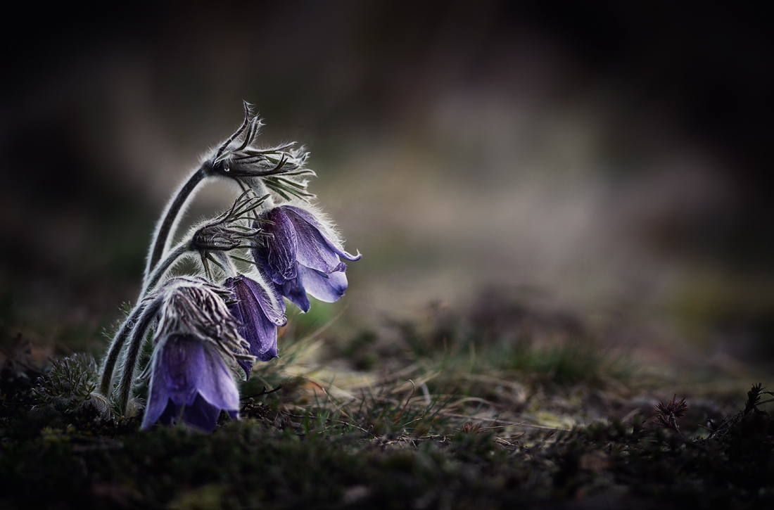 съсънка  / Pulsatilla Pratensis L./ | Author Ekaterina Staromanova - srebrina | PHOTO FORUM