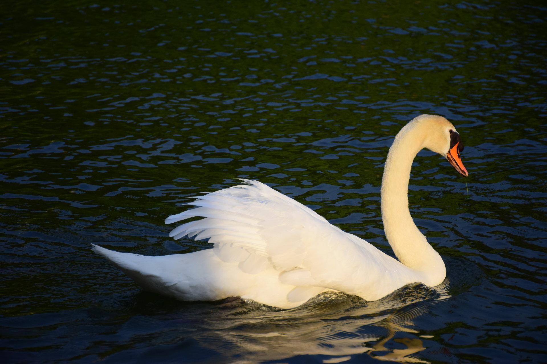 Лебед от Георги Георгиев - gugun4u