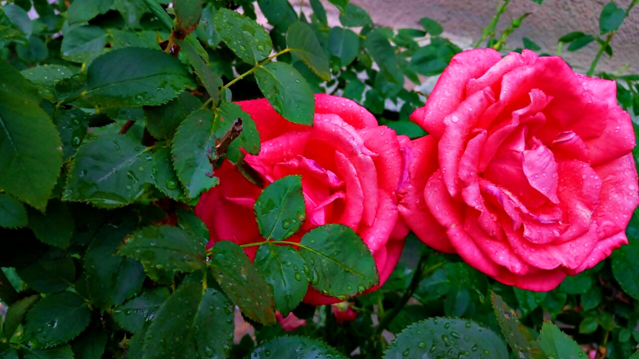 Сестри - рози от Agapeiya Polis - agapeiya_p