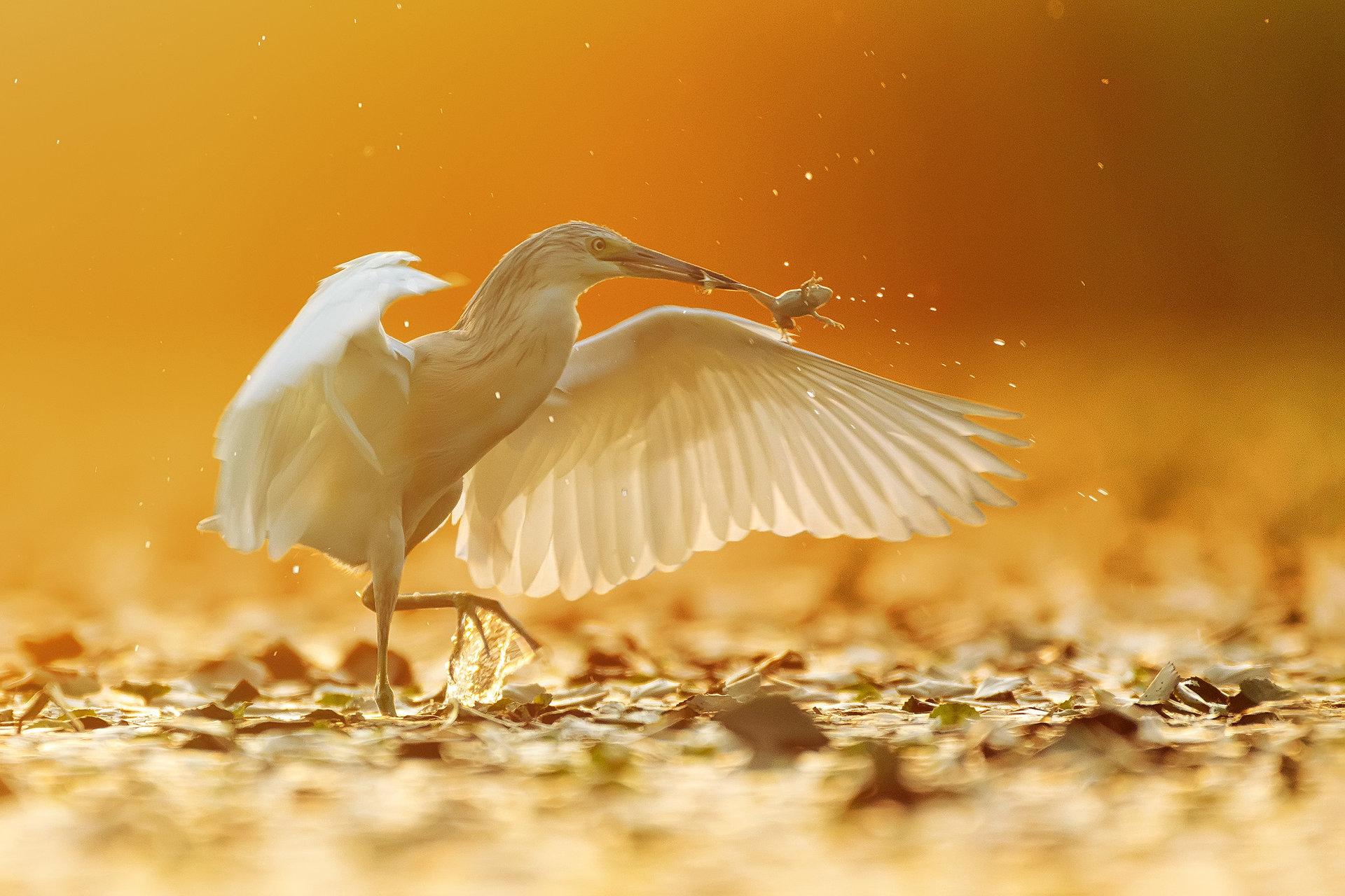 Танц със ... жаби. | Author Dragomir Georgiev - Dragon_bird | PHOTO FORUM