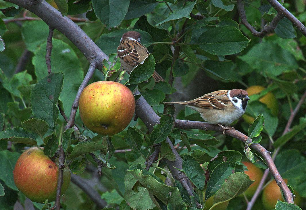 Крадци на ябълки   Author Ivan Ivanov - idivanov   PHOTO FORUM