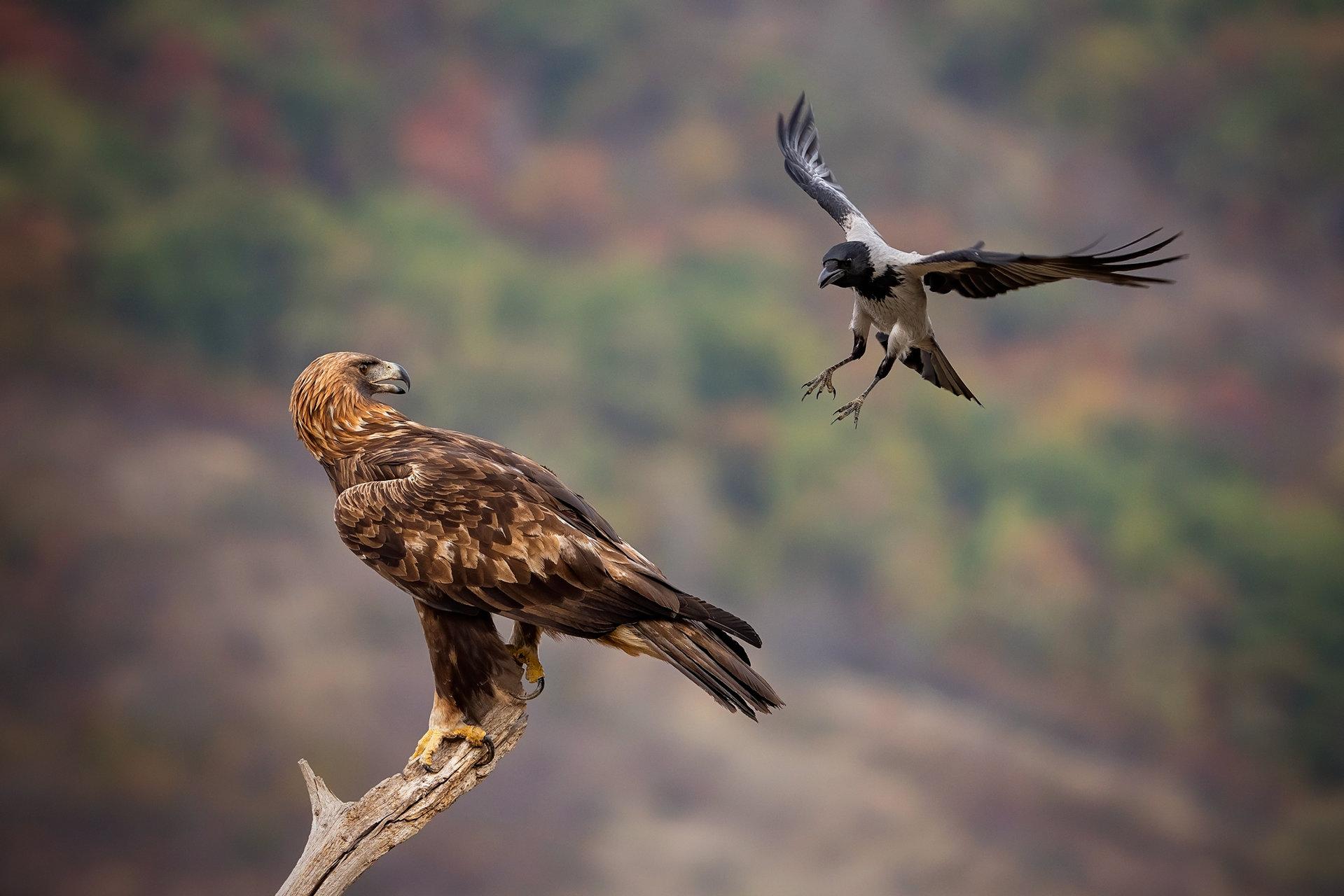 Възхищавам се на Сивата врана за смелоста и да прогони Скалния орел... | Author edobg | PHOTO FORUM