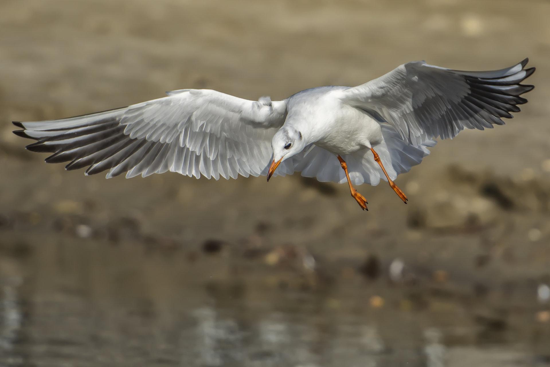 Речна чайка   Author Veselin Zlatev - weselozlato   PHOTO FORUM