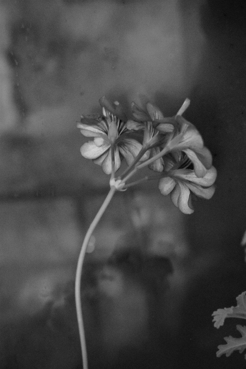 цъфнало цвете шарено | Author Anit_tinA | PHOTO FORUM