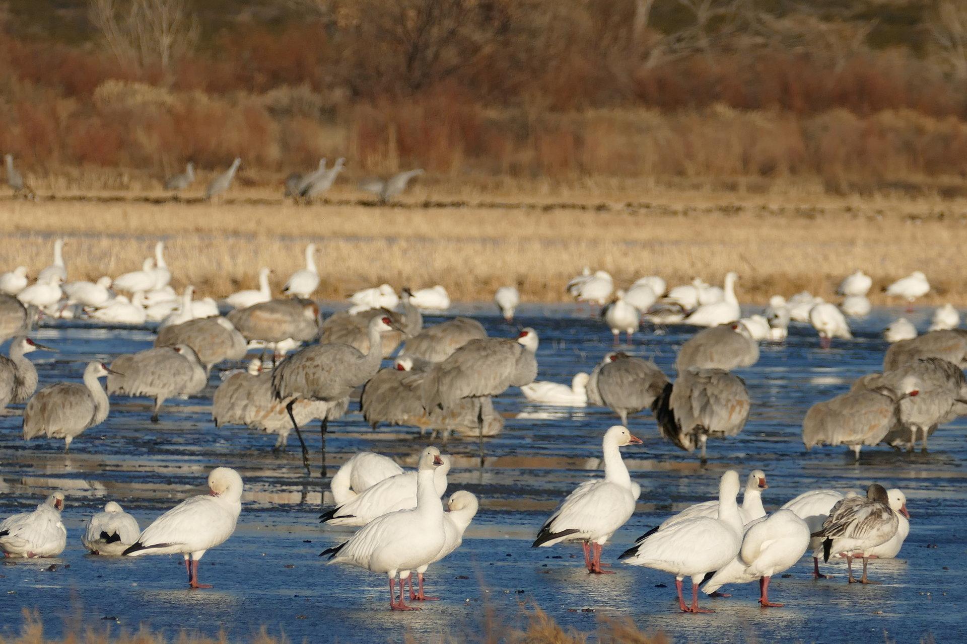 Snow geese and sandhill cranes   Author daniela damgova - dd   PHOTO FORUM