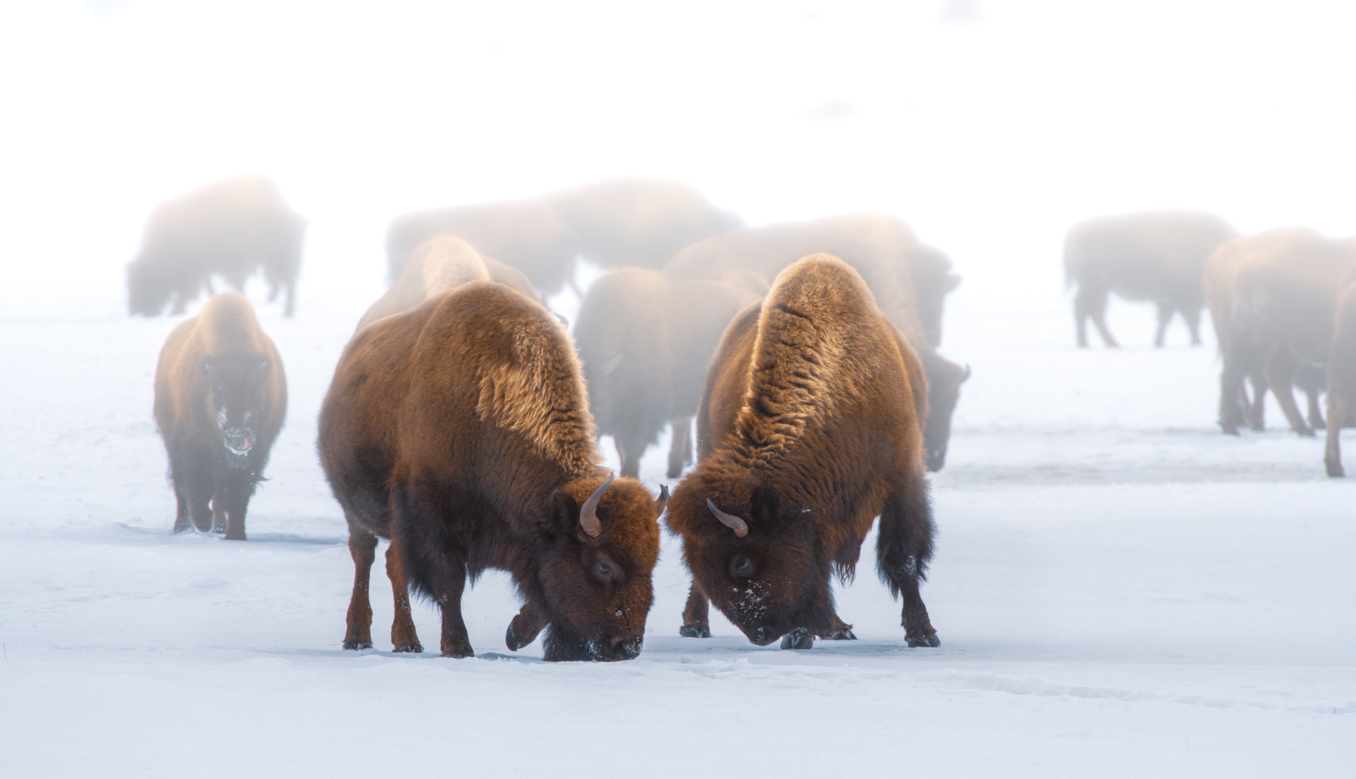American bisons  in Yellowstone National Park | Author Жоро  - HITTHEROAD | PHOTO FORUM