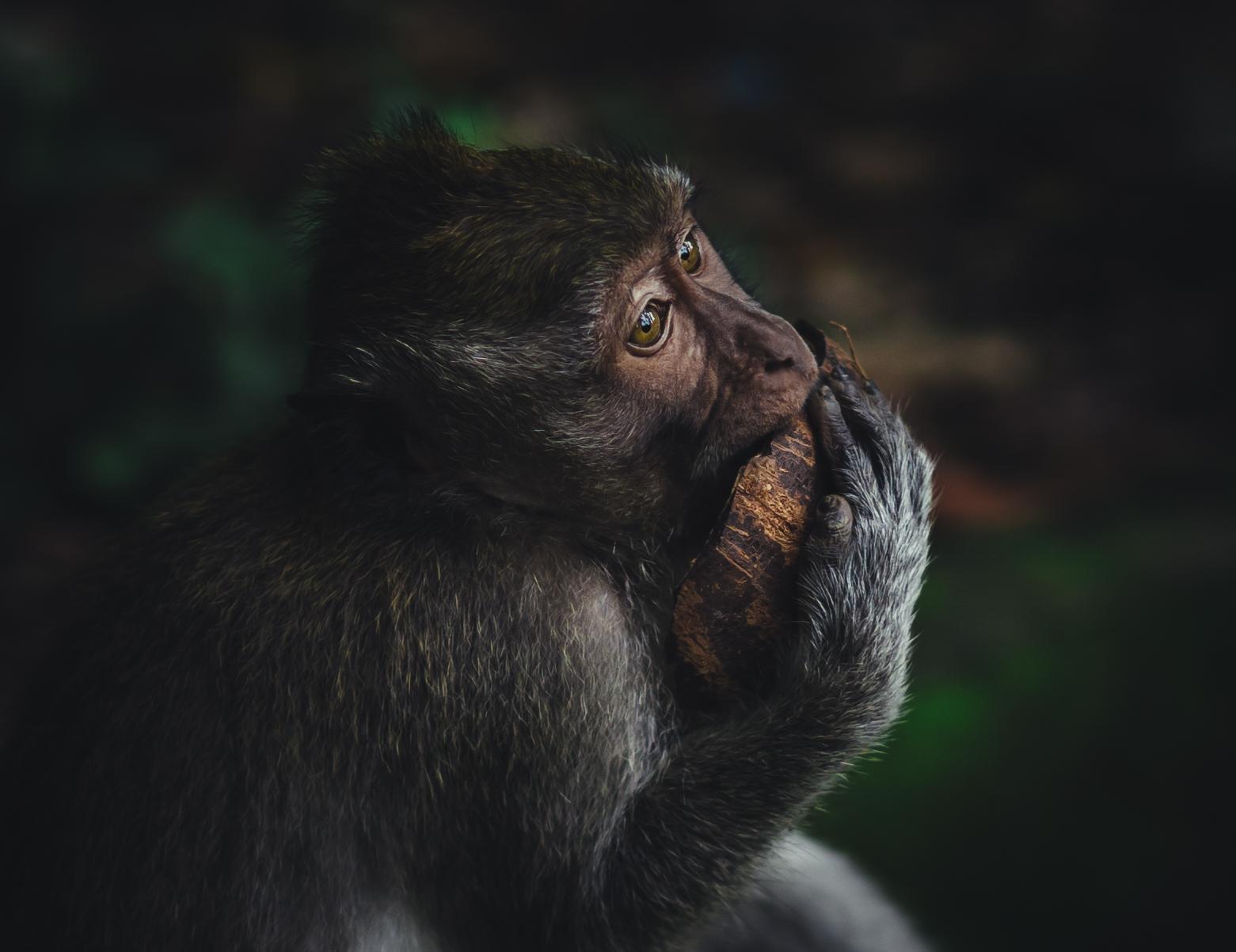 monkey | Author Stanislav Kehayov - tachi_blg | PHOTO FORUM