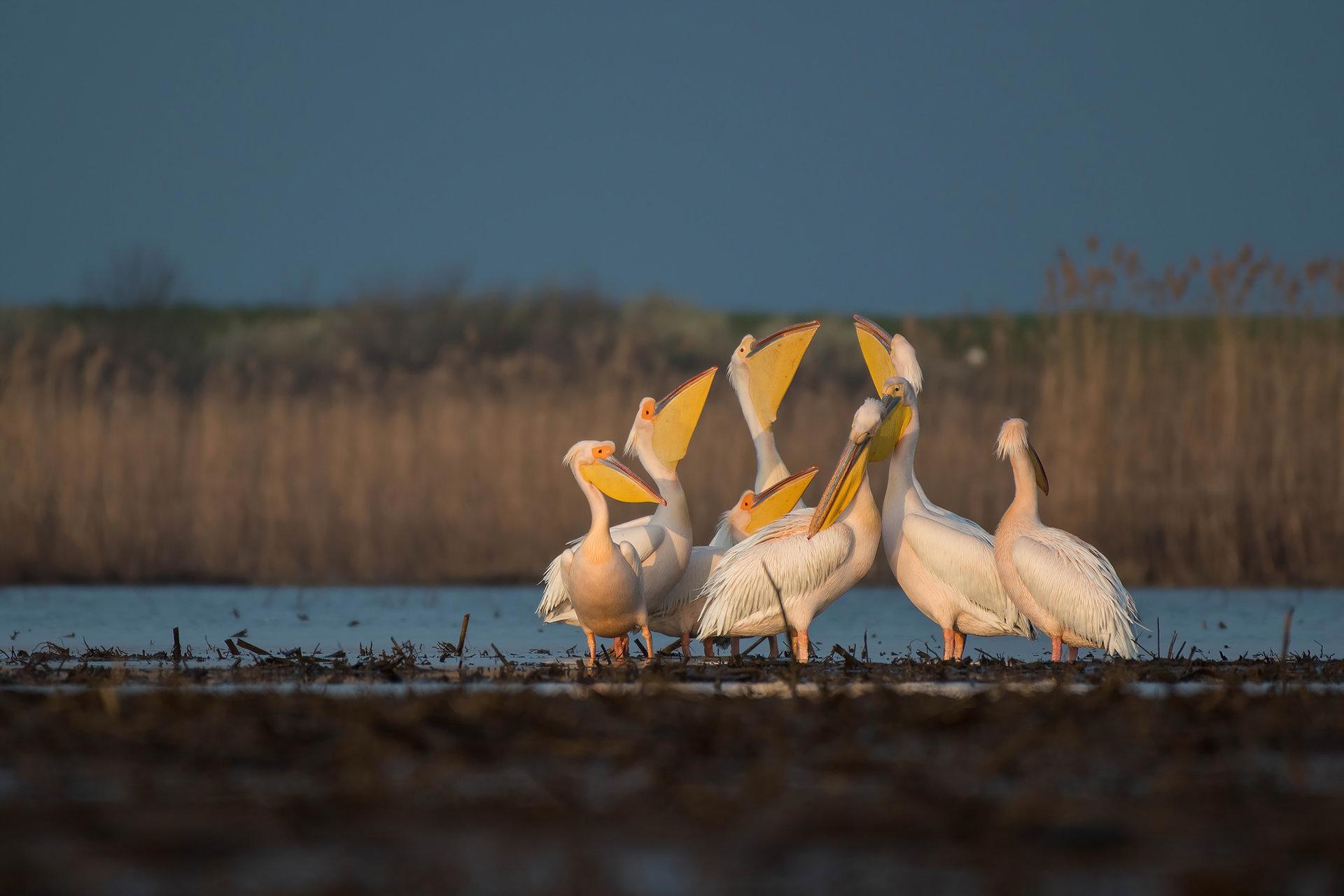Розови пеликани | Author Kalin Apostolov - capos | PHOTO FORUM
