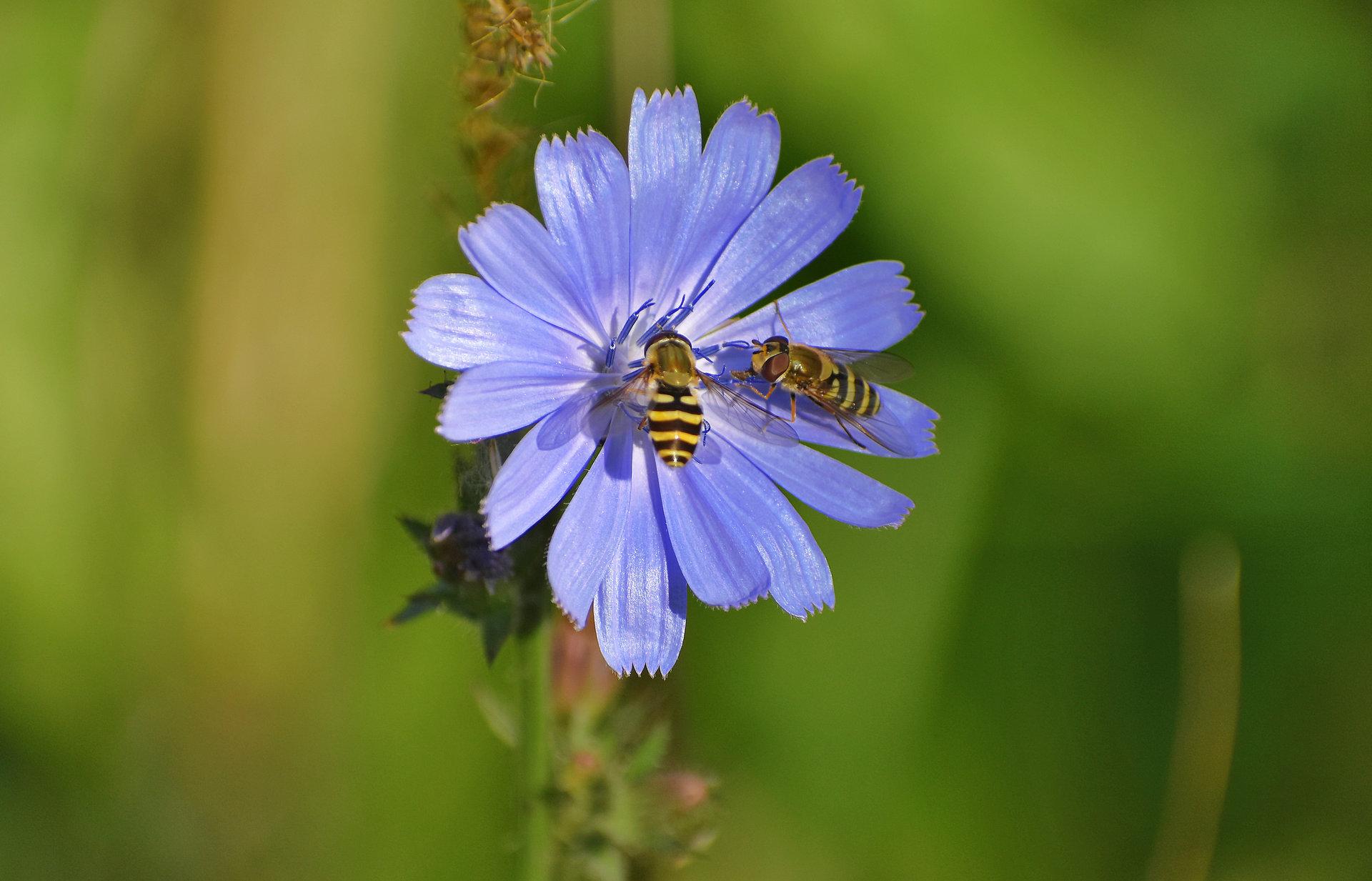Wild bees on a Chicory от Inna Stancheva - InnaStancheva