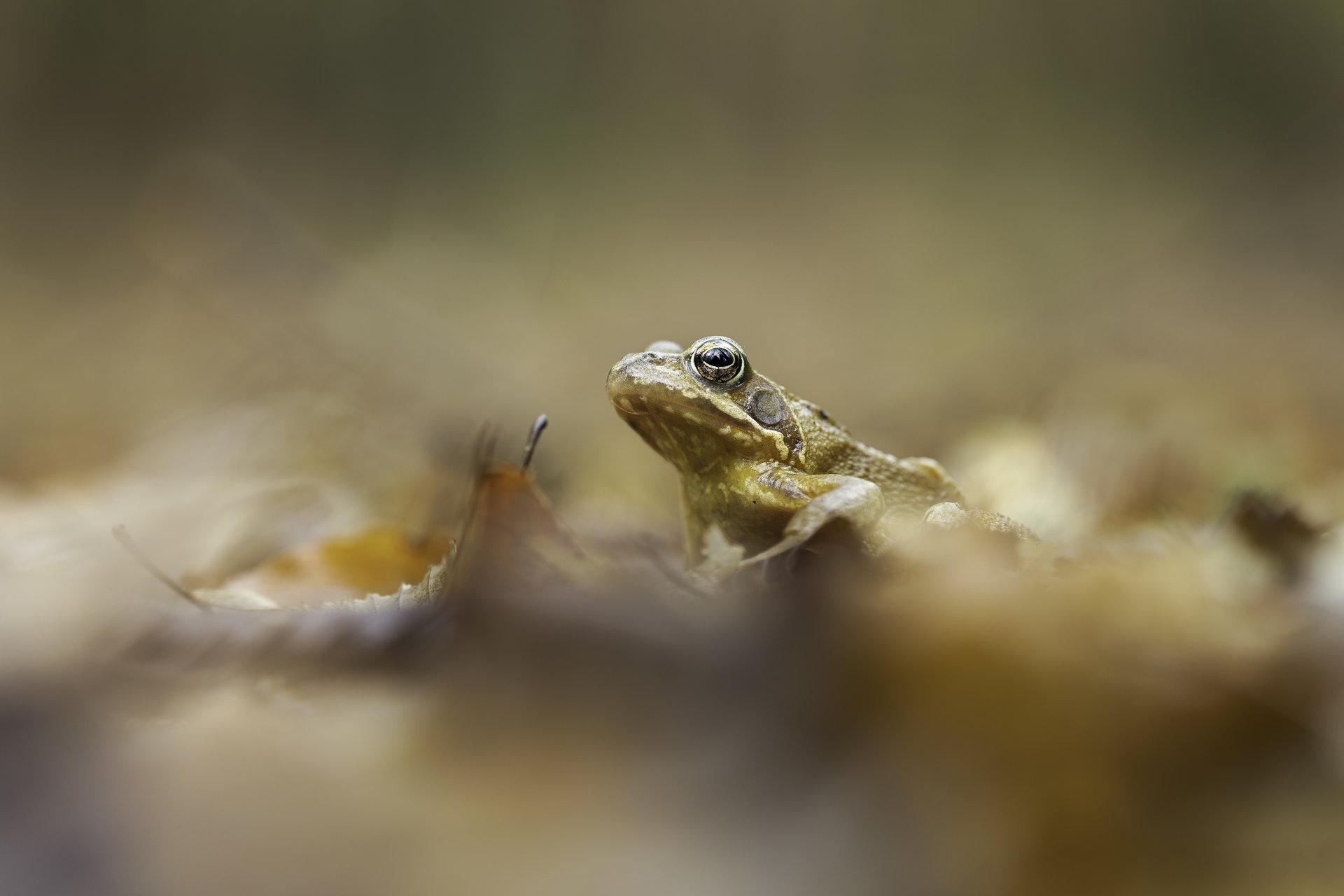 Горска дългокрака жаба (rana dalmatina)   Author Valentin Ivanov - valniuk   PHOTO FORUM