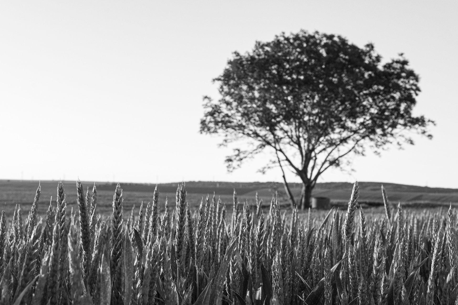 Пролетна пшеница | Author Viktor Vasilev - Olivaw | PHOTO FORUM