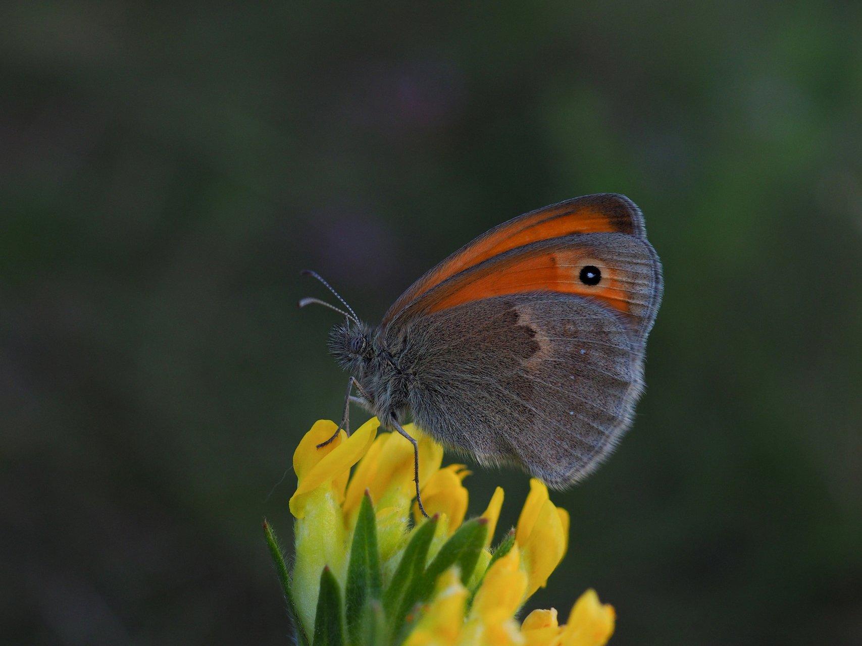 Пеперуда   Author Емил Младенов - carps   PHOTO FORUM