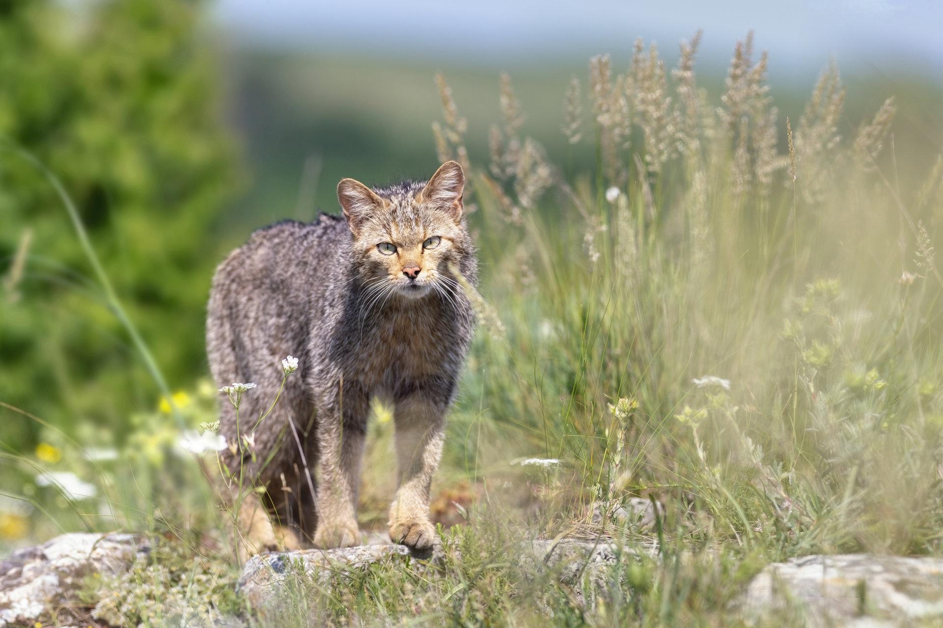 Европейска дива котка | Author Ko Key - kes | PHOTO FORUM