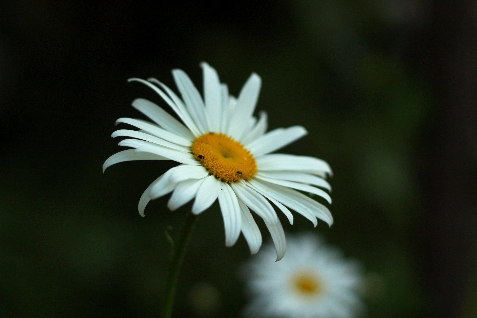 """МАРГАРИТКА Красива маргаритка бяла на полянка разцъфтяла, въздъхнала и се засмяла, и от цялата душа запяла: """"Колко е красив света –  с небе и птици, и цветя! И мойта нежна белота е част от тази красота…""""Божидара Ангелова   Author Kamelia Rangelova - RangelovaK   PHOTO FORUM"""