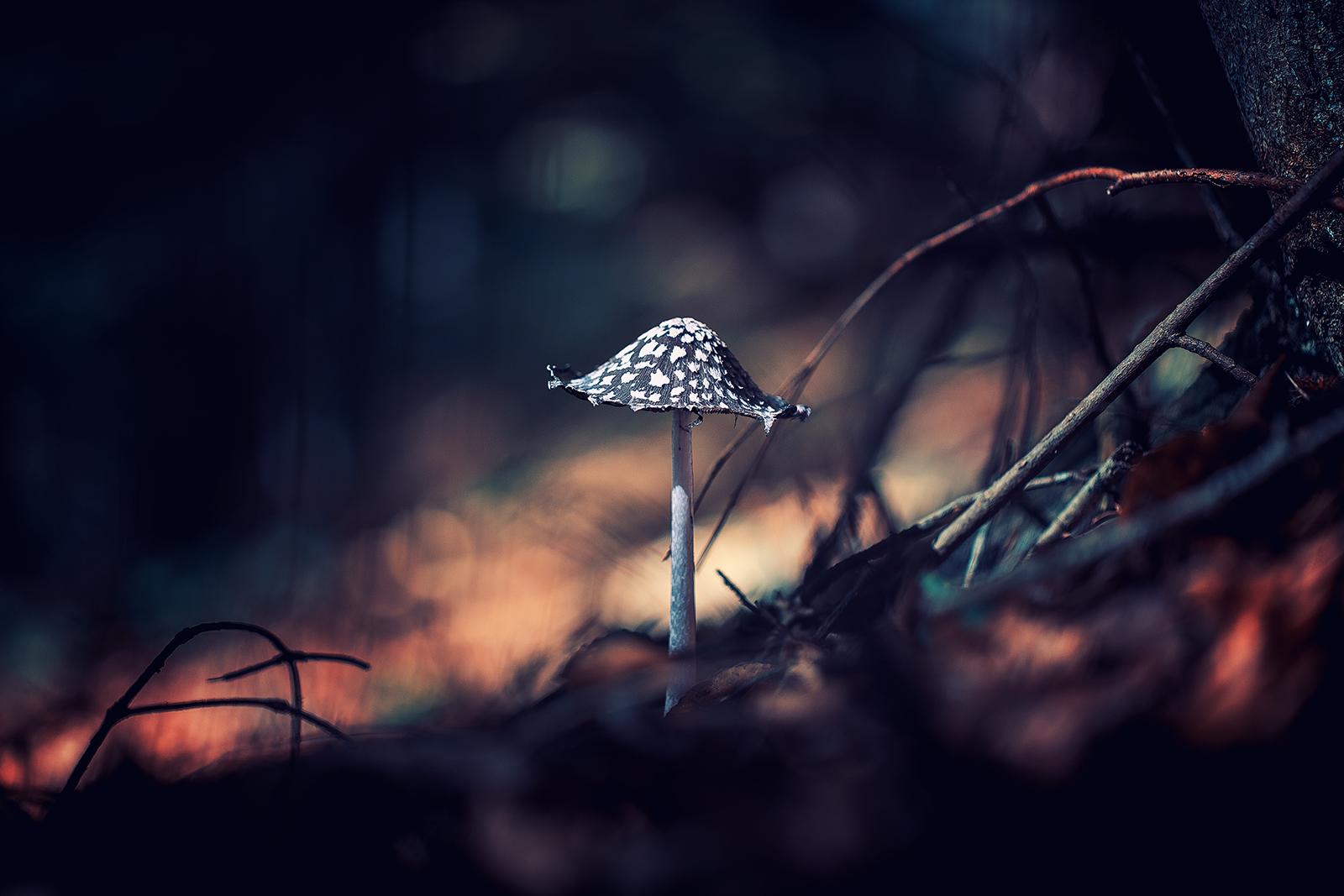 Пъстра копринка (Coprinopsis picacea)   Author Georgi Georgiev - zeromx   PHOTO FORUM