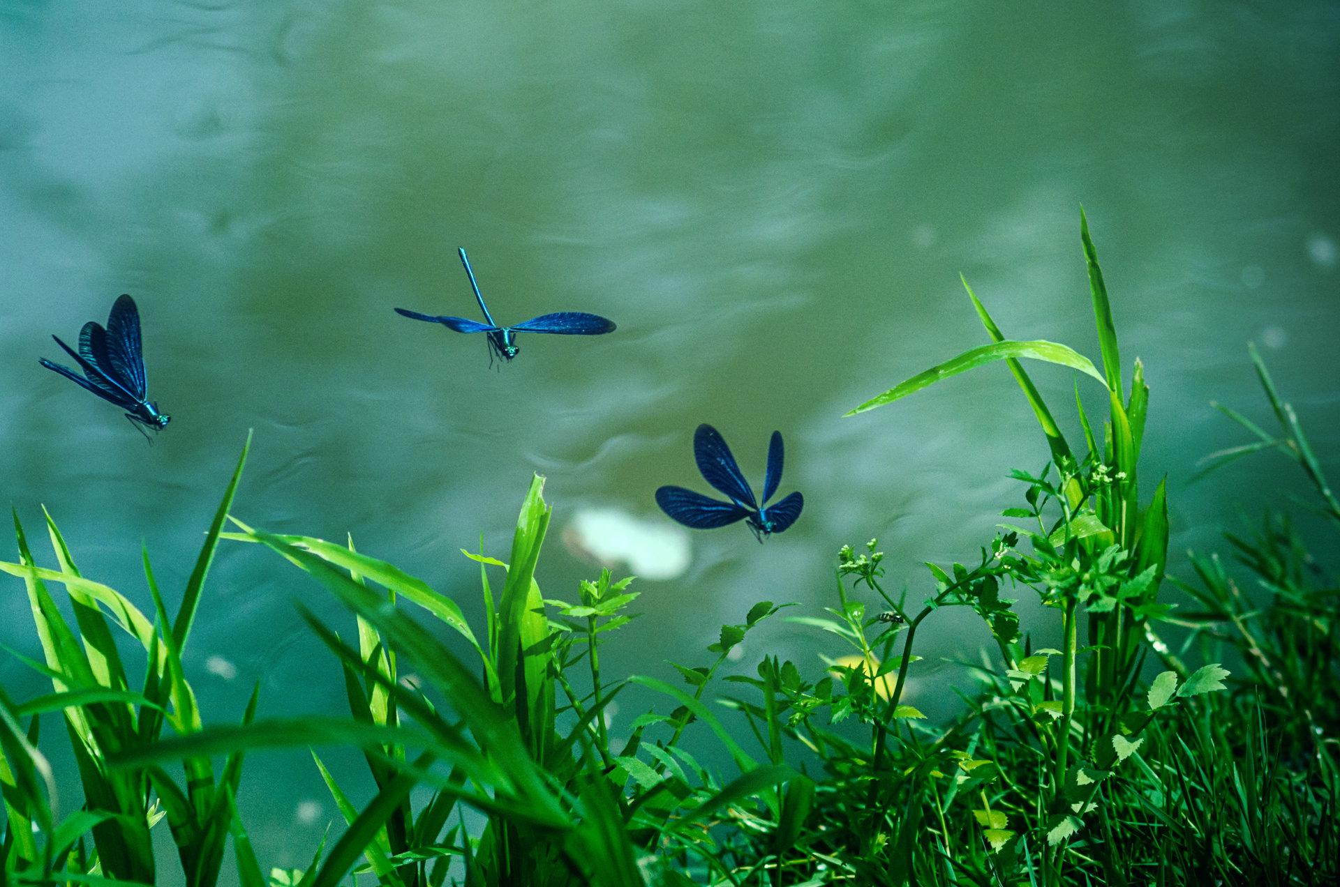 сини водни кончета при река Златна Панега | Author Desislava Ignatova - desiignat | PHOTO FORUM