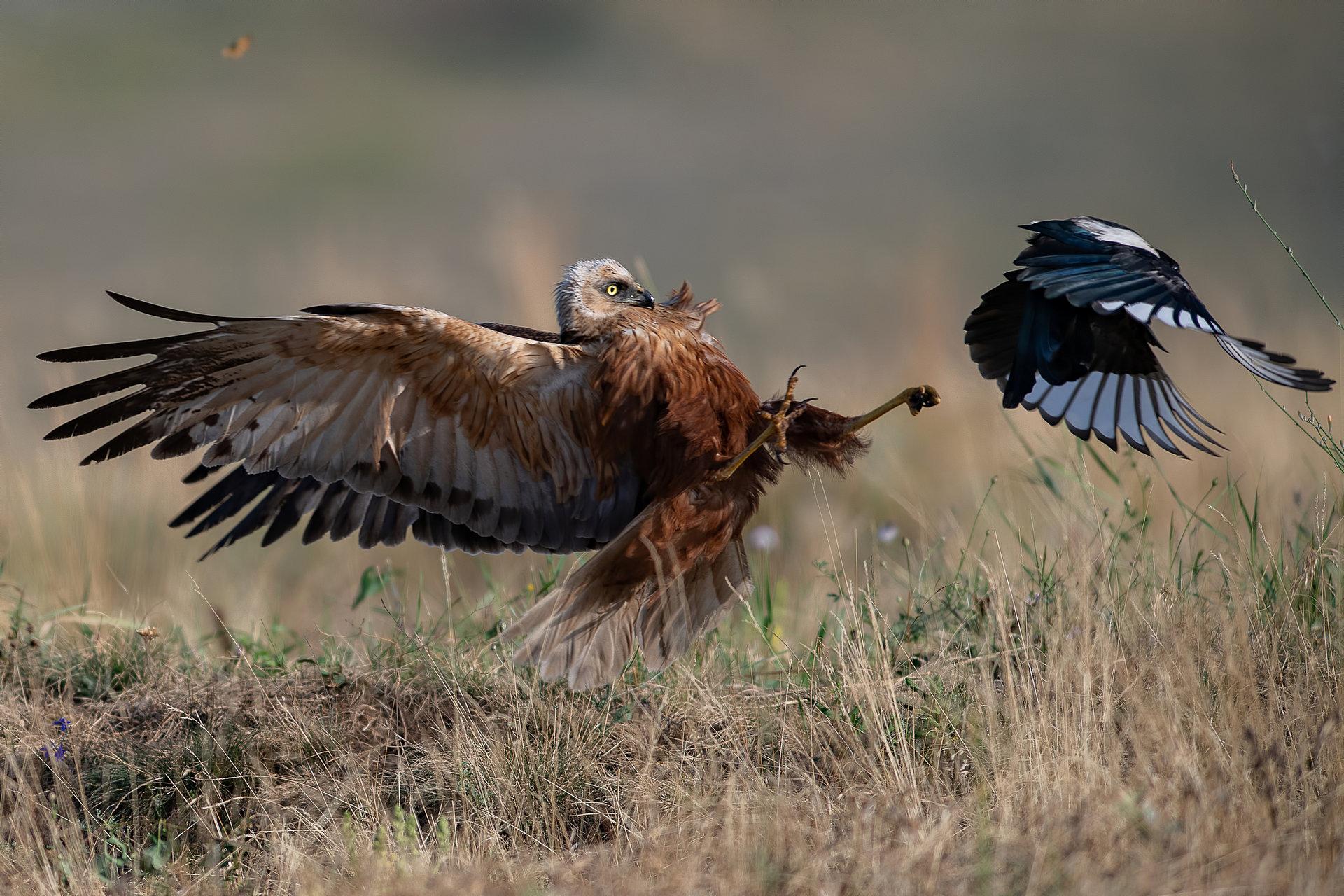 Понякога свраките са много изнервящи!... | Author Martin Popov - imartin | PHOTO FORUM
