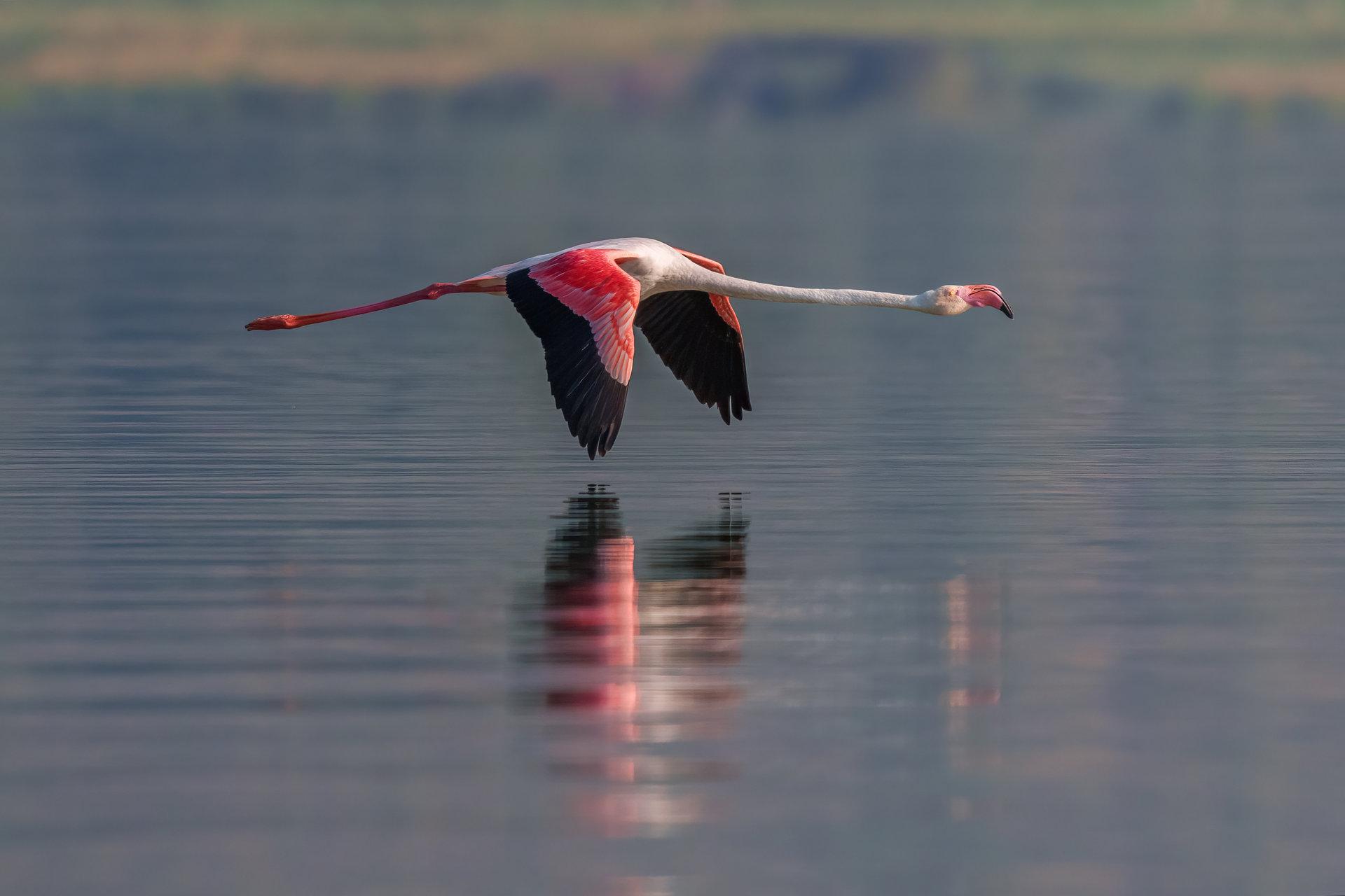 Бръснещ полет... розово фламинго..   Author Eddie Adamov - edobg   PHOTO FORUM