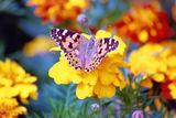 Пеперуда ; comments:8