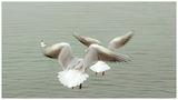 чайки ; comments:13