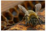 Пчела ; comments:8