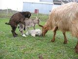 Камъкът, който промени живота на едно козлеее ; comments:24