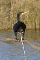 Phalacrocorax carbo ; comments:20