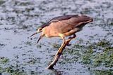 Nycticorax nycticorax ; comments:28