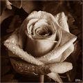 Роза (която беше червена) ; comments:13