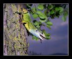 Lacerta viridis ; comments:21