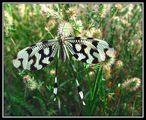 Nemoptera Sineata ; comments:14