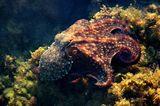 My Oktopusy- na pat za Kopren ; comments:18
