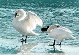 Лебеди в Марибор ; comments:21