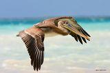 Кафяв пеликан. ; comments:104